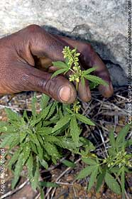Jamaican plants are bred for their resin and potency.